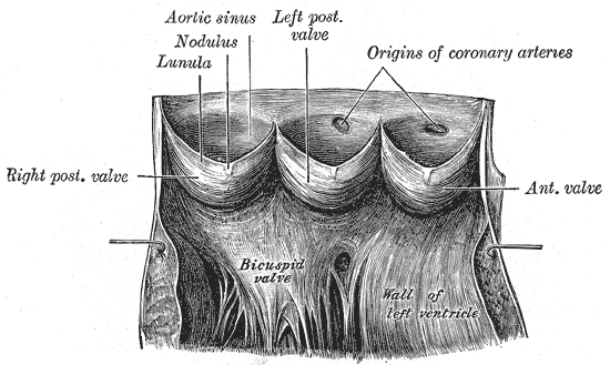 Hjertets anatomi, Semilunærklapper
