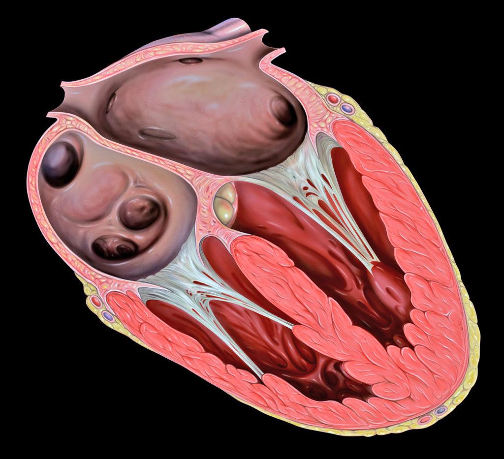 Hjertets anatomi, Atrioventrikulærklapper
