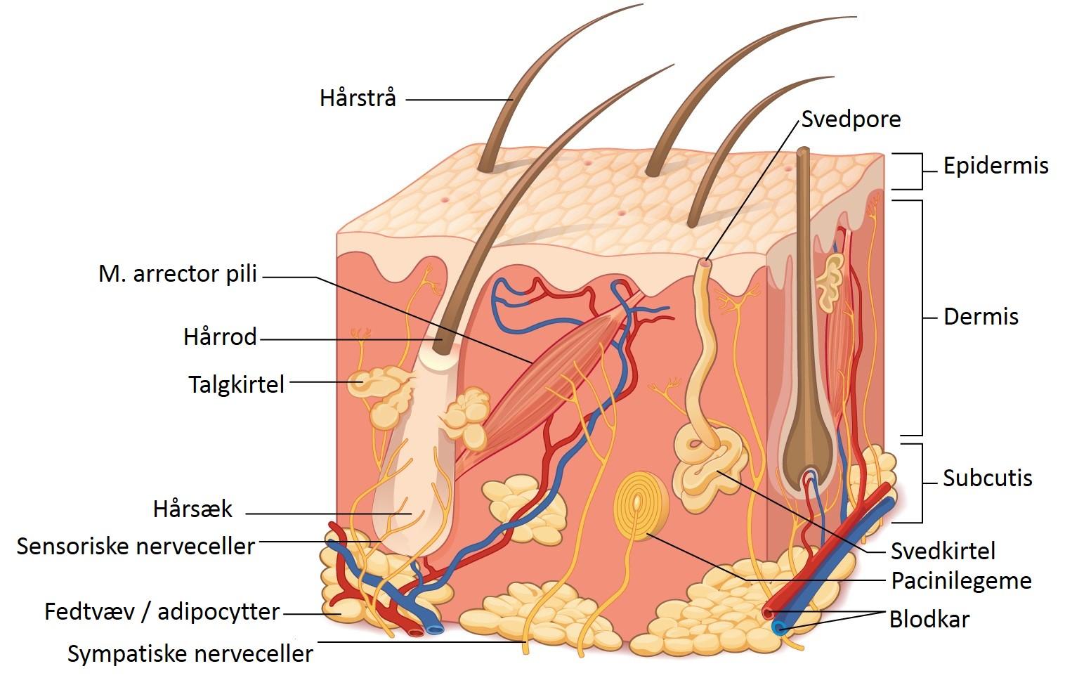 Hudens struktur