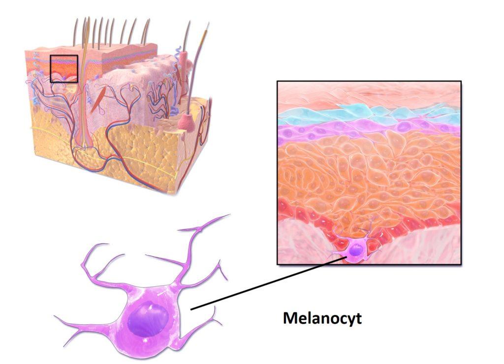 Melanocyt